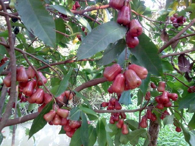unnamed file 35 - Tả cây ăn quả mà em yêu thích lớp 4