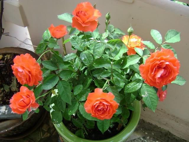 unnamed file 36 - Tả cây hoa hồng nhung