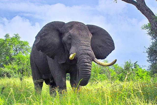 unnamed file 65 - Tả con voi mà em từng nhìn thấy lớp 4