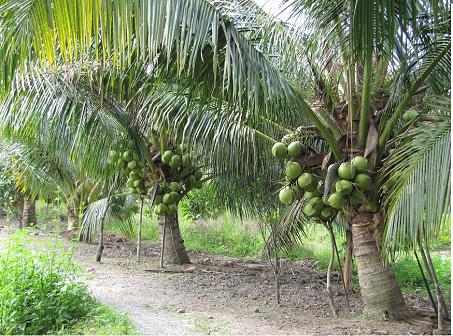 unnamed file - Tả cây dừa mà em từng nhìn thấy lớp 4